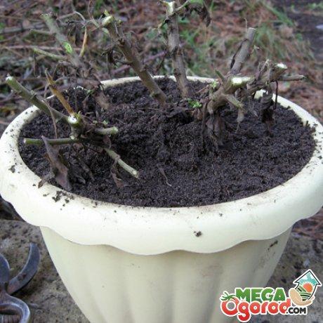 Зимовка шаровидной хризантемы
