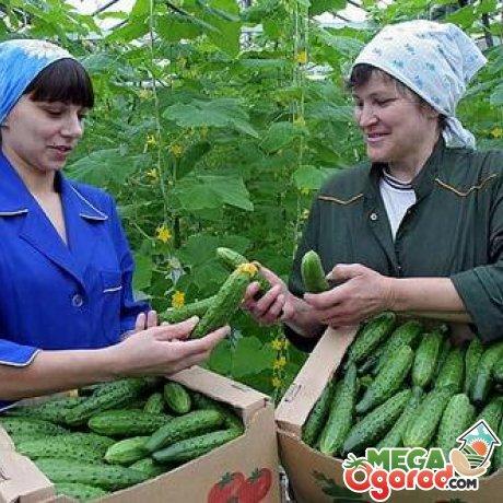 Собираем урожай огурцов