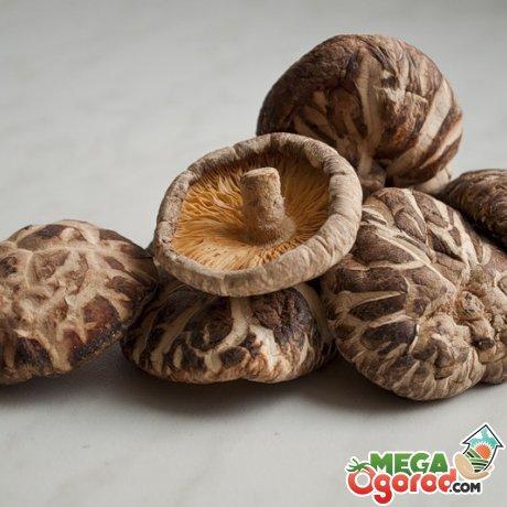 Грибы шиитаке - деликатес, выращенный в домашних условиях