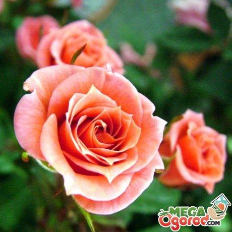 Создание условий для дальнейшего роста черенка розы