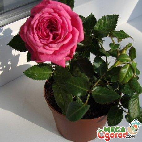Фото цветка домашняя роза 26