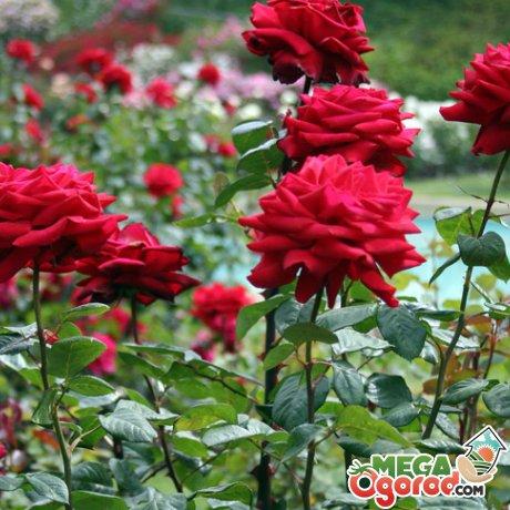Какие выбрать розы корнесобственные или привитые