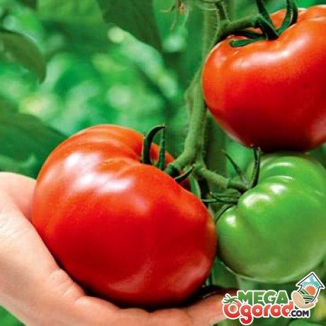 Виды раннеспелых сортов крупноплодных томатов