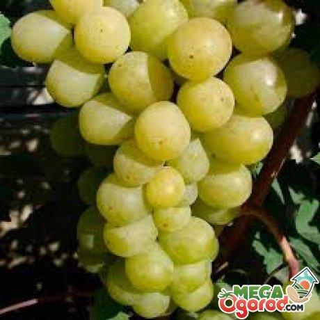 О винограде сорта Алекса