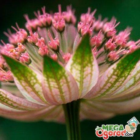 Описание растения