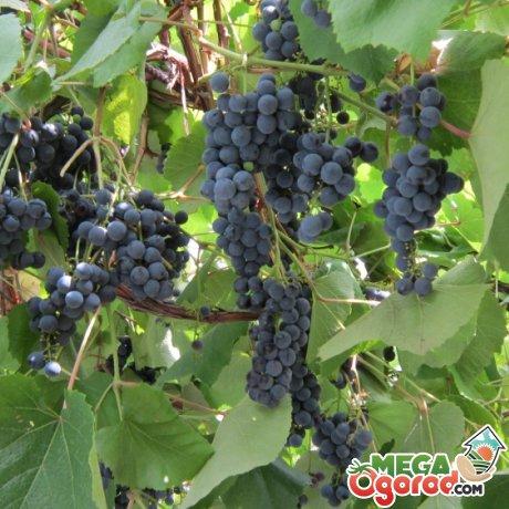 Виноград таежный описание сорта фото отзывы