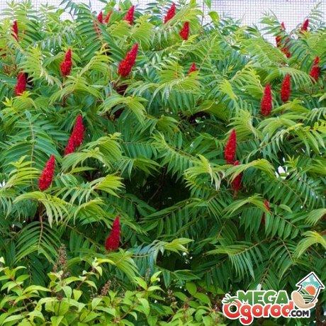Советы по выращиванию сумаха
