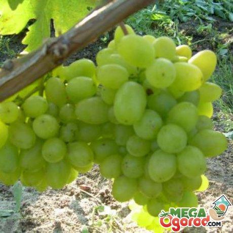 Другие популярные сорта столового винограда