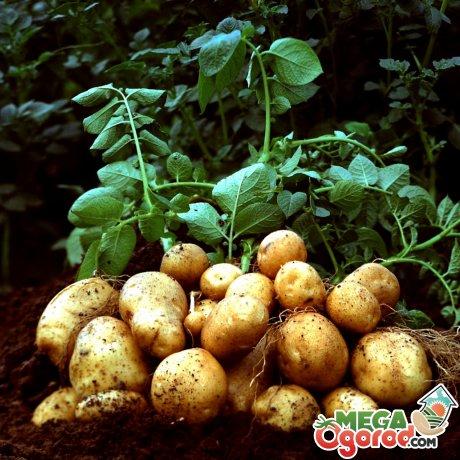Характеристика клубня картофеля