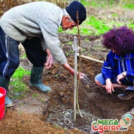 Технология посадки вишни весной