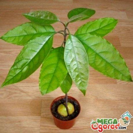 Как растет авокадо?