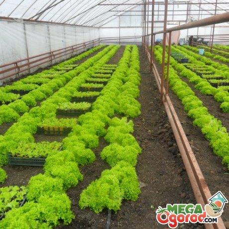 Особенности высадки салата
