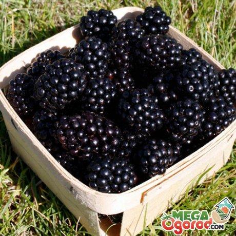 Применение ветвей и плодов