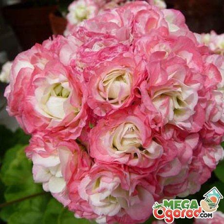 Условия для цветения пеларгонии