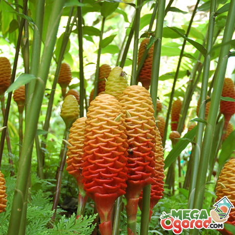 Имбирь - описание растения