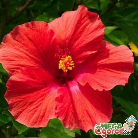Сорта и разновидности садового гибискуса