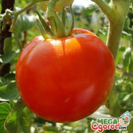 Лучшие сорта помидор