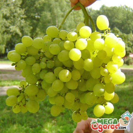Описание сорта винограда, его преимущества