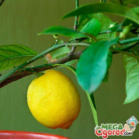 лимон домашний уход за комнатным лимоном