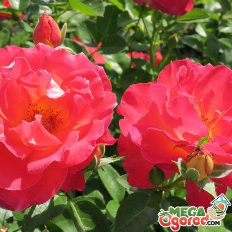 Как правильно ухаживать за этой розой