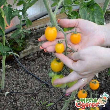 Правильный уход за томатами
