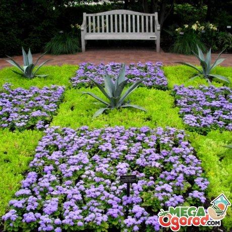 Использование агератума мексиканского в дизайне клумб и цветников
