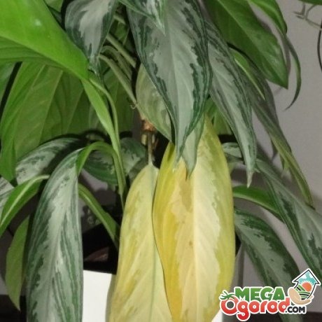 Тропическая аглаонема: размножение, посадка и советы по уходу за комнатным растением