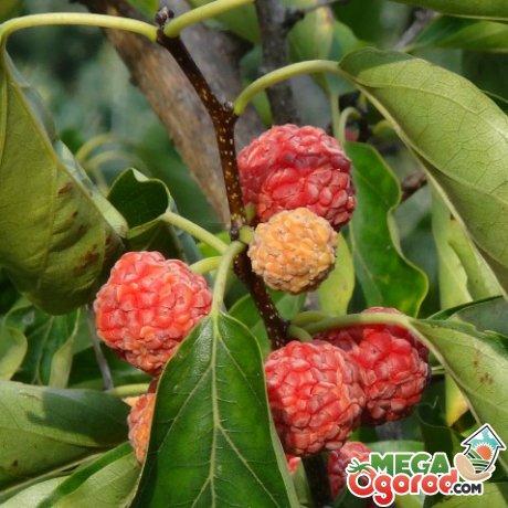 Особенности строения клубничного дерева