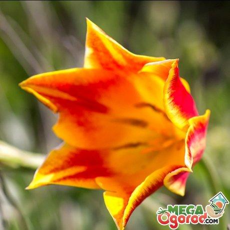 Охрана тюльпана шренка