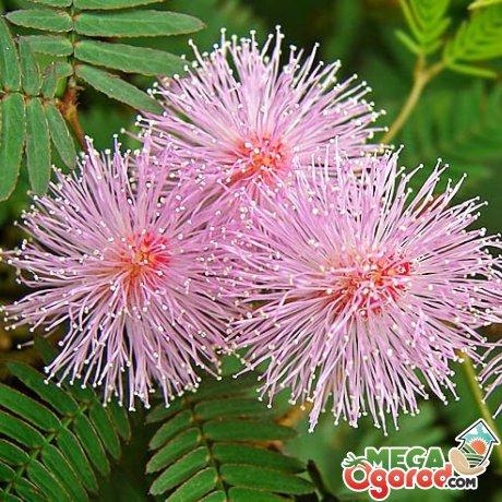 Правильный уход – залог пышного цветения