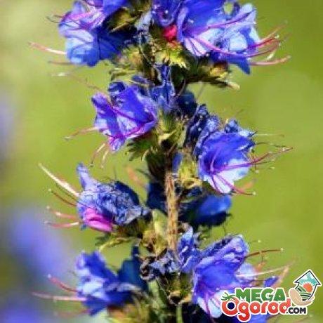 Описание растения синяк обыкновенный