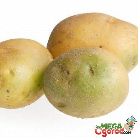 Причины позеленения клубней картофеля