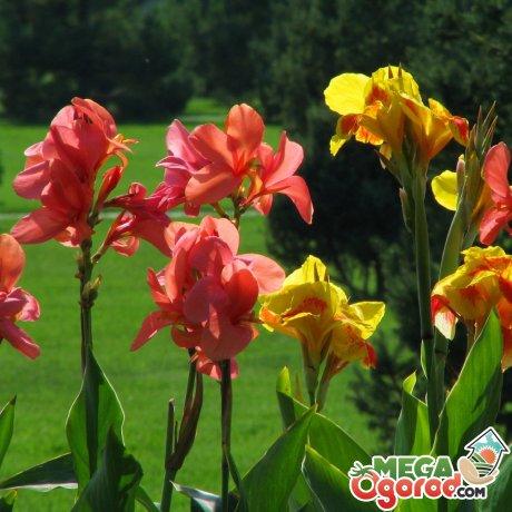 Канна - описание и особенности цветка