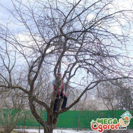 Способы омоложения яблонь