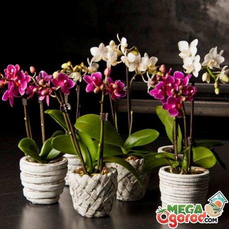 Сорта орхидеи фаленопсис