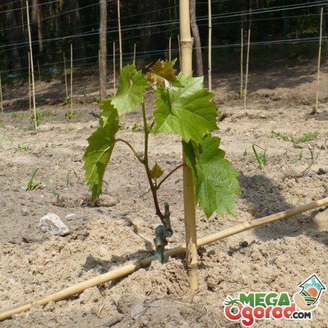 Посадка винограда Илья