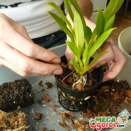 Как ухаживать за орхидеей в горшке в домашних условиях после цветения