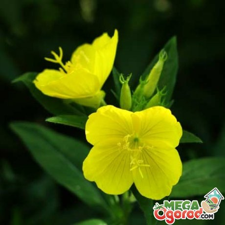 Энотера цветок