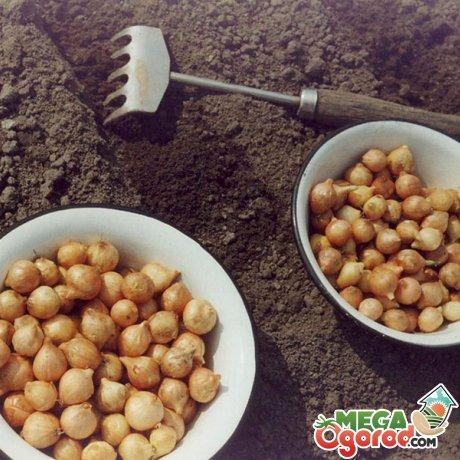 Выращивание зелени из луковиц