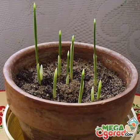 Условия для выращивания финиковой пальмы