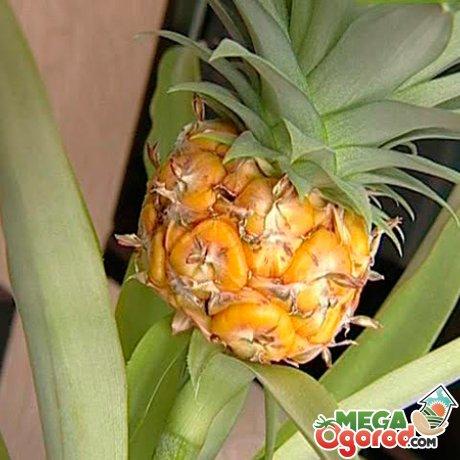 Описание ананаса комнатного