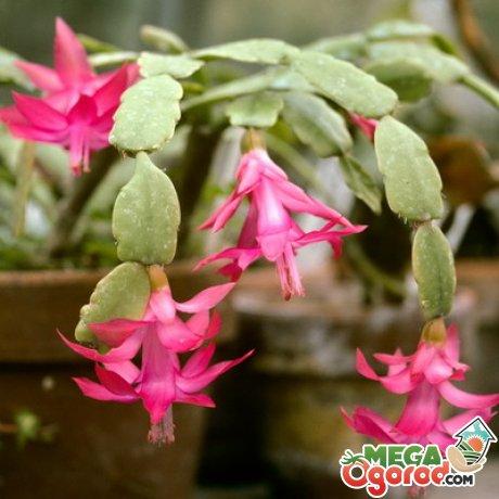Blumen decembrist foto spezies - Epiphyten zimmerpflanze ...