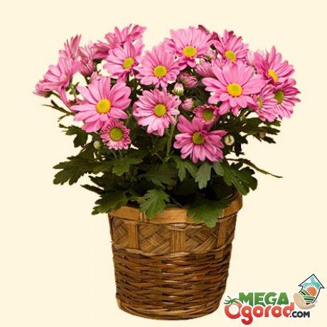 Условия выращивания домашних хризантем