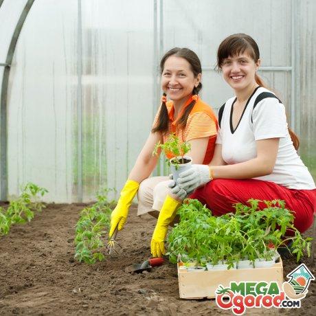 Особенности тепличного выращивания