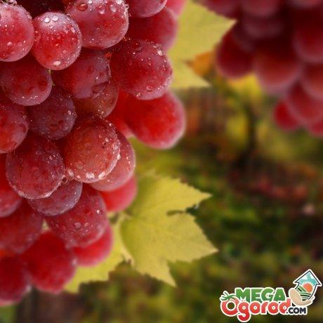 Рекомендации для начинающих виноградарей