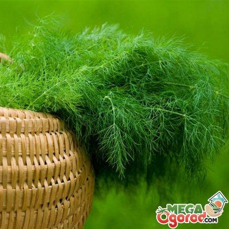 Технология выращивания укропа на гидропонике, сборка установки и советы по уходу