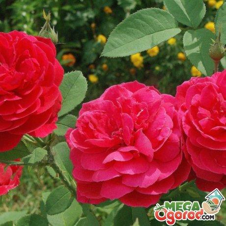 Лучшие сорта роз для успешного разведения
