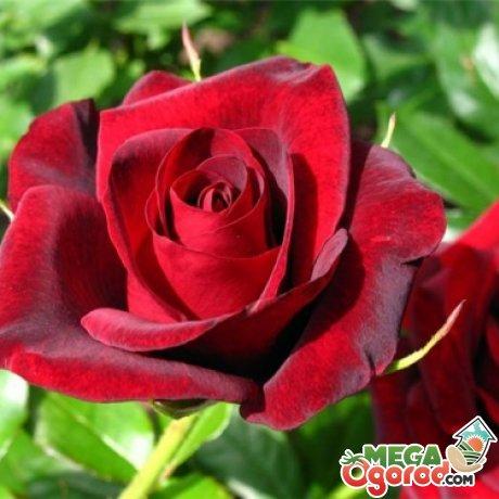 Выбираем сорта роз