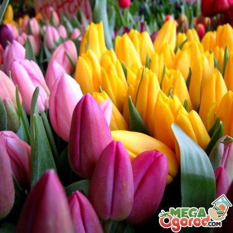 Тюльпаны – лучшие сорта для сада