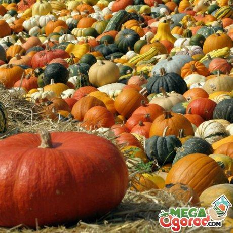 Популярные сорта тыквы для выращивания